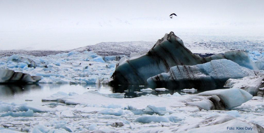 Island Jökulsárlón svart m fugl, Kristin Daly